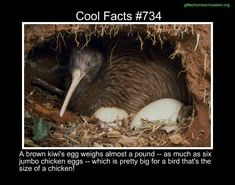 Cool facts #734  http://en.wikipedia.org/wiki/North_Island_brown_kiwi
