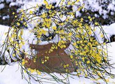 Le jasmin fait rêver les jardiniers du nord de la Loire, coincés en hiver entre deux gels, un ciel bas et gris et un jardin bien trop vide. Mais savent-ils qu'il existe non pas «du»jasmin, mais «des» jasmins, et qu'il y en a certainement un pour eux?