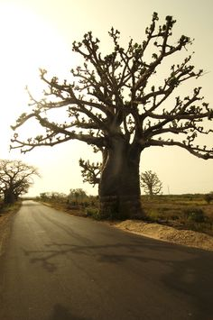 Baobab tree in the Gambia