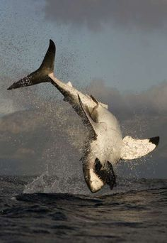 Great White Shark Diving with Apex Shark Expeditions (Photo by Chris Fallows)