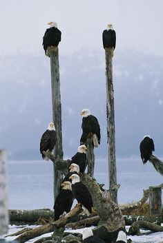 "group of Eagles perch on wooden posts    ""what do you wanna do today, i dun know wha'd you wanna do today?"""