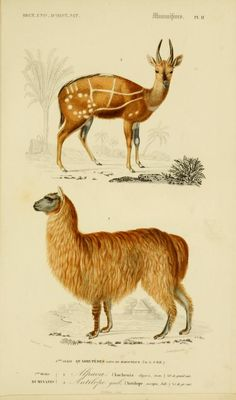 v. 1 1849 - Atlas (Zoologie - Humaines, Mammiferes & Oiseaux) - Dictionnaire universel d'histoire naturelle : - Biodiversity Heritage Library...