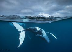 I like how the photo is split with half of it being underwater showing the whale and half of it being over water.
