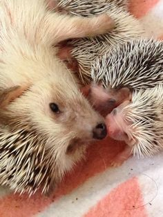 Mama and baby Hedgehog Cute Creatures, Beautiful Creatures, Animals Beautiful, Cute Baby Animals, Animals And Pets, Funny Animals, Animals With Their Babies, Hedgehog Pet, Cute Hedgehog