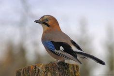 Eurasian Jay | Flickr - Photo Sharing!