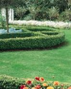 """Euonymus """"Tom thumb"""" low and small hedge plant"""