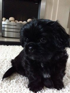 Boomer – 8 week old male Shih Tzu dog for adoption at Pro Dogs Direct