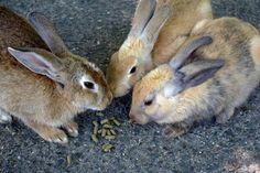 Okunoshima (Rabbit Island Japan) in Hiroshima Prefecture has now lots of cute bunnies despite its dark past as a poison gas production site.