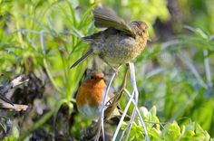 Feed me! All parents will understand :,) (Found this old pic taken back in April: Juvenile robin the same size as its mother asking for food. It was rather funny to watch. Spring Watch, Robin Bird, Robins, Little Red, Birds, Parents, Photography, Funny, Food