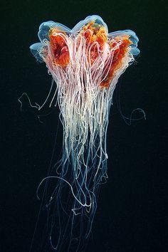 Cyanea capillata (jellyfish)