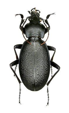 Carabus coriaceus
