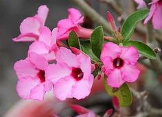 """nown as """"Desert rose"""", adenium is a tropical succulent plant that requires occasional watering. Adenium requires full sun and heat to thrive, however, it can also be grown as a houseplant in colder climates. Heat Tolerant Flowers, Desert Rose, Drought Resistant Plants, Plants, Full Sun Flowers, Amazing Flowers, Adenium, Flowers, Drought Tolerant Plants"""