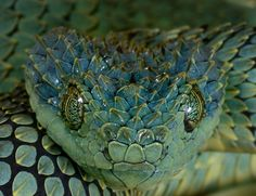 1000 Images About Snakes On Pinterest Viper Snakes