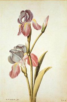 Iris stem (circa Watercolour by Jacques Le Moyne de Morgues ( 1533 - 1588 ). Image and text information courtesy Victoria and Albert Museum. Botanical Drawings, Botanical Prints, Art Grants, Renaissance, Nature Prints, Floral Illustrations, Watercolor Flowers, Watercolour, Portrait