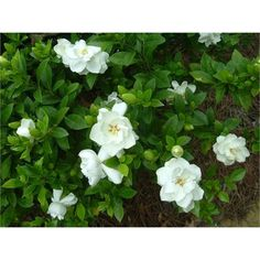 Find 200mm Florida Gardenia at Bunnings Warehouse. Visit your local store for the widest range of garden products.