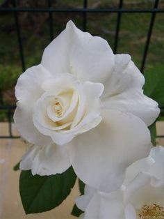 'Alba García' rose, click to enlarge
