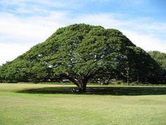Acácias (Árvore Guarda-Chuva)