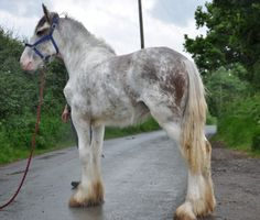 Fabulous Great Big 'White' Clydesdale Colt