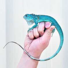 Someday I will own a blue iguana. The coloring reminds me of a dragon. I just think they are beautiful. :D