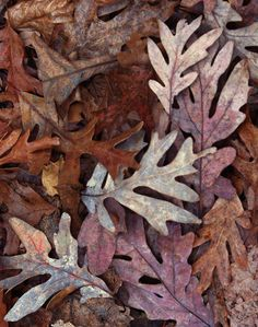 Oak Leaf Patterned Leaves, Full Of the Colours Of Nature. Oak Leaves, Tree Leaves, Autumn Leaves, Fallen Leaves, Best Seasons, Fall Season, Graphic, Fall Halloween, Color Inspiration