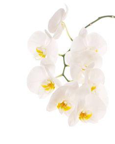 Orquídea branca  - foto de acervo Black And White Stickers, Stock Foto, White Orchids, Coffee Art, Flower Arrangements, Beautiful Flowers, Clip Art, Watercolor, Plants