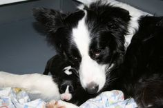 Momma Border Collie & Puppy |  AWWWW