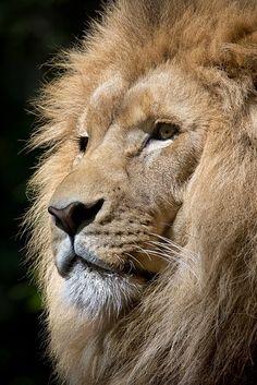 Immagine gratis su Pixabay - Leone, Animale Selvatico, Animale
