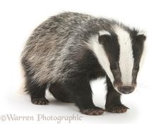 Young Badger (Meles meles).