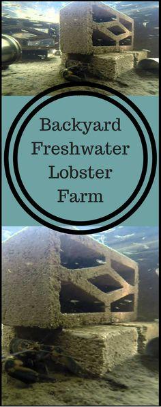 My backyard freshwater Lobster farm More