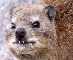 This cute little guy is called a Hyrax http://ift.tt/2sq7u5M