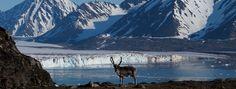 Reno avistado en el viaje a las islas Lofoten y Svalbard.