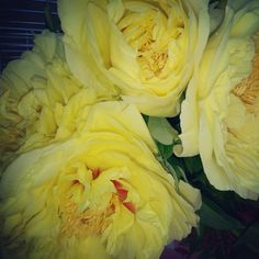Yellow peonies so lovely