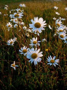 I want to roam around in a field of daisies Magic Light, Daisy Field, Daisies, Mother Nature, Bloom, Yard, Floral, Flowers, Plants