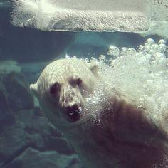 Hudson, un oso polar, se refresca jugando con un bloque de hielo en su recinto del Brookfield Zoo en Illinois donde una ola de calor continúa azotando a gran parte del país . Foto: AFP