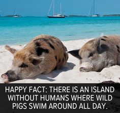 Happy fact: There is an uninhabited island called Pig Beach in the Bahamas where pigs swim around all day.