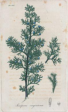 Botanical illustration, Juniperus Virginiana. (Red cedar). (1817-1820)