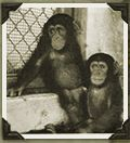 The First 100 Chimps - a study of the first chimpanzees in the US