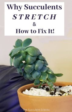 Have you ever had a succulent grow tall, thin and stretched? Learn all about why succulents stretch and how to fix them! This is not just a cosmetic problem - In severe cases, succulents will die from over-stretching. Learn what your succulents need so they won't stretch.  #succulentcare #etiolatedsucculents #succulentstretching #etiolation
