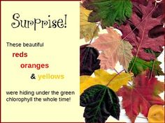 """""""The Science of Fall"""" - This lesson explains the earth's relationship with the sun, loss of chlorophyll in the leaves and the parts of a leaf. Go on a virtual leaf hunt to observe the similarities and differences of fall leaves."""