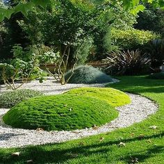 Irish Moss (Sagina Subulata) - The very tiny Irish Moss seeds create a moss-like, emerald-green foliage that forms a compact 1 - 2 inch tall carpet. Sagina Subulata ground cover is excellent for plant