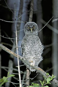 Great Gray Owl (Strix nebulosa) Juvenile. Photo by Rick & Nora Bowers.