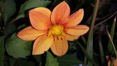 Beautiful orange Zinnia