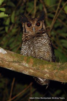 Fraser's Eagle-Owl (Bubo poensis): Atewa, Ghana