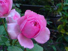 Rose Pompadour Madame Pompadour, Marie Antoinette, Outdoor Living, Garden, Floral, Flowers, Plants, Pink, Outdoors