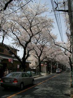 Sakura-Dori in Fuchu Tokyo Japan