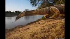 """'O Museu de História Natural de Londres reuniu no livro """"The Masters of Nature Photography"""" uma impressionante seleção de imagens feitas durante mais de três décadas, por 10 dos melhores fotógrafos de natureza do mundo, incluindo esta foto de um crocodilo do Nilo no Parque Nacional de Zakouma, no Chade, tirada por Michael 'Nick' Nichols."""