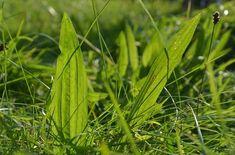 Oui vous ne rêvez pas, nous parlons bien de cette herbe que vous piétinez ou bien que vous éliminez de votre gazon ou de votre pelouse. Pourtant, c'est l'un des médicaments naturels les plus utilisés sur notre planète. Il en pousse de partout et peut guérir beaucoup de maux quotidiens. Elle tient son origine des …