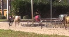 A local greyhound trainer's license has been suspended after 12 dogs in his care tested positive for cocaine.