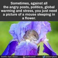 Sometimes... you just need a picture of a mouse sleeping in a flower.