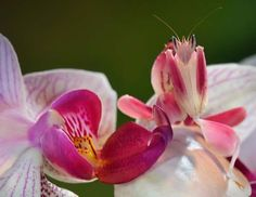 orchid mantis - Google Search